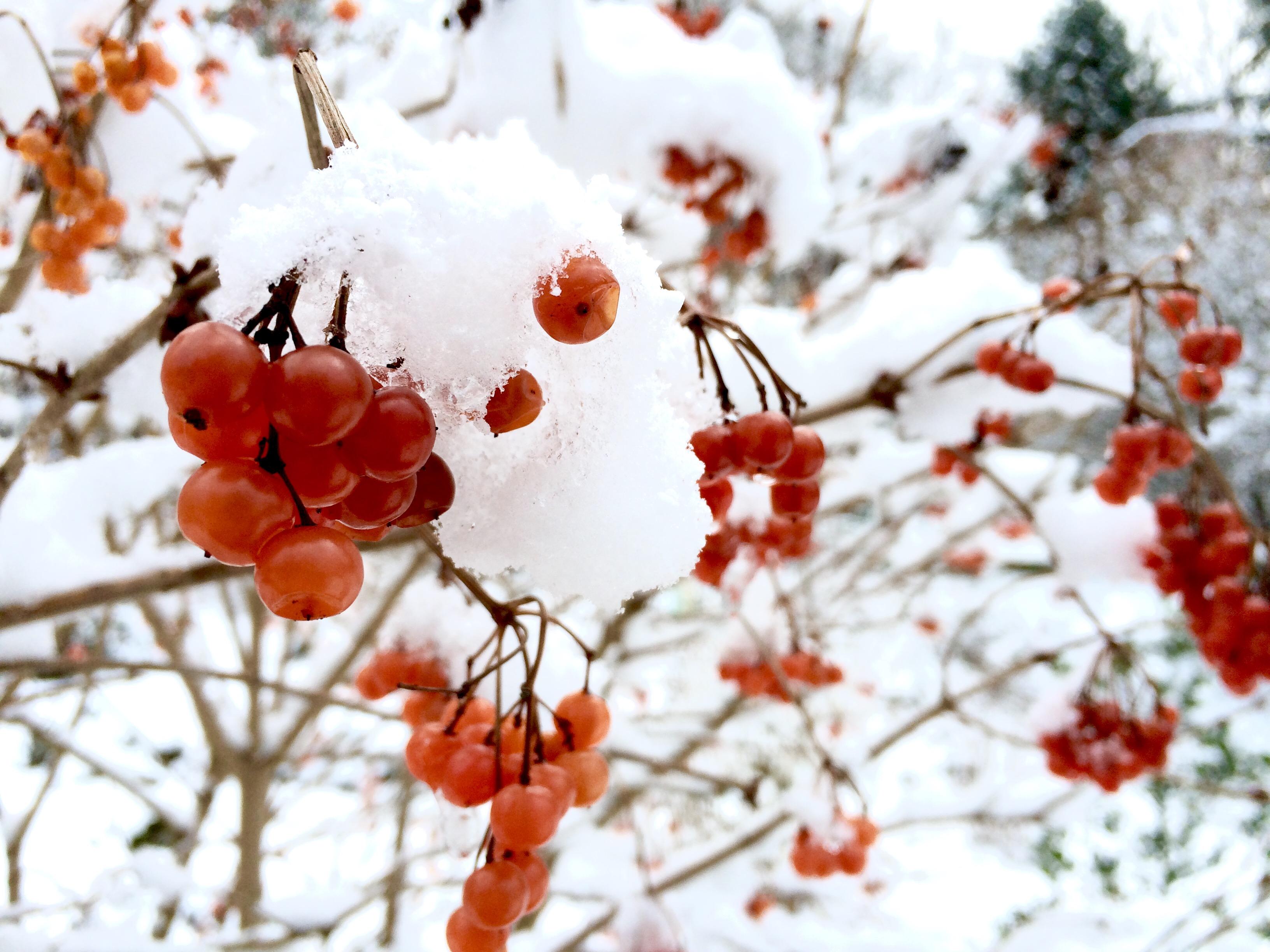 Beeren im Schnee