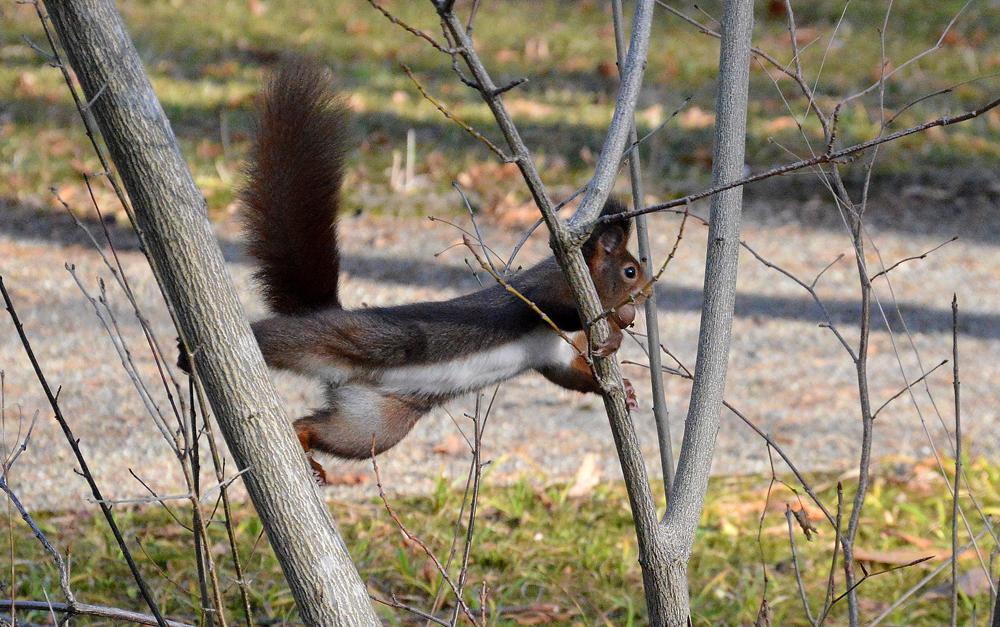 Eichhörnchen im Botanischen Garten