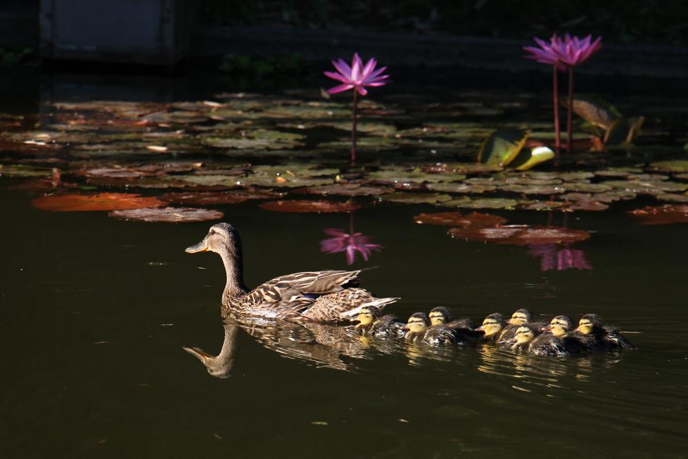 Ente mit Entenbabys im Teich